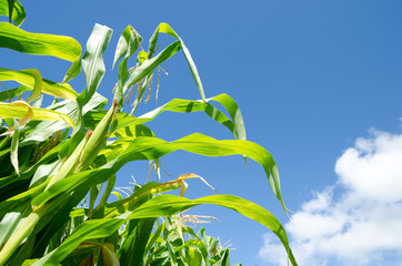 トウモロコシ畑と空