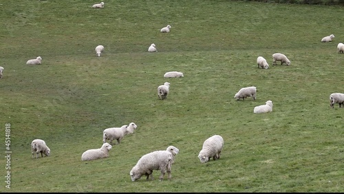 Flock of sheep grazing on a field of farmland in New Zealand