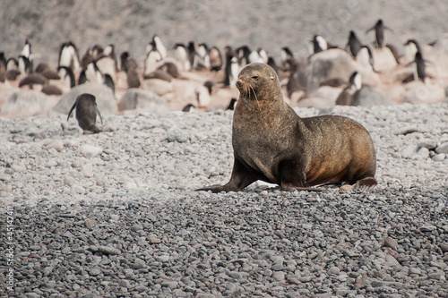 Fur seal on the beach near penguins, Antarctica