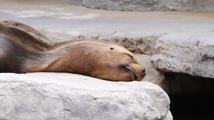 Fur seal lying on the shore