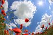 Mohnwiese mit blauen Himmel