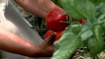 Horticulturist working to improve crop yield and quality value.