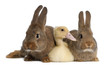 Duckling lying between two rabbits against white background