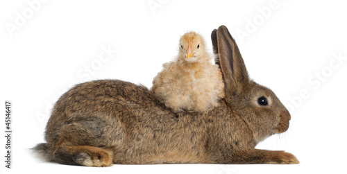 Chick lying on Rabbit against white background
