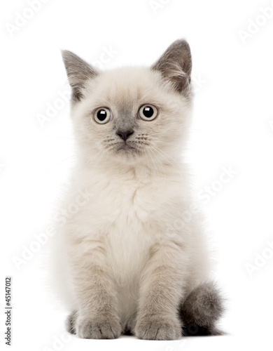 Portrait of British Shorthair Kitten sitting, 10 weeks old