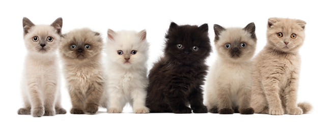 Group of British shorthair and British longhair kittens
