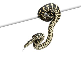 Jungle carpet python, Morelia spilota cheynei