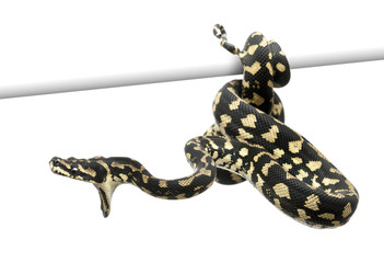Jungle carpet python attacking, Morelia spilota cheynei