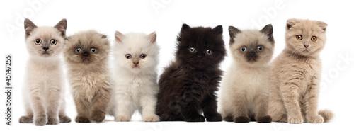 Group of British shorthair and British longhair kittens