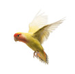 Rosy-faced Lovebird flying, Agapornis roseicollis