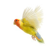 Rosy-faced Lovebird flying, Agapornis roseicollis