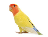 Portrait of Rosy-faced Lovebird, Agapornis roseicollis