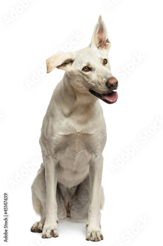 Crossbreed dog sitting against white background