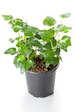 Green Ivy (Hedera helix) in pot