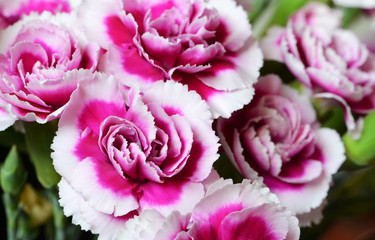Bi-color carnations