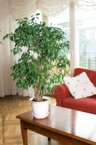 Ficus Benjamina in the Room