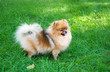 spitz, Pomeranian dog in city park