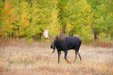 Moose, walking through autumn meadow
