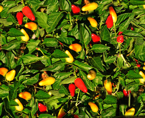 pepper plant background