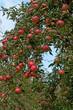 Äpfel - Malus