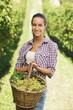 vintner picking grapes in a vineyard