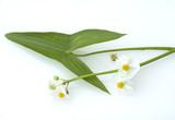 Pfeilkraut, Sagittaria sagittifolia - 45168487