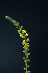 Odermenning; Agrimonia Eupatoria