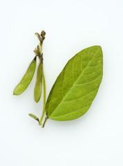 Sojabohnen, Glycine max,