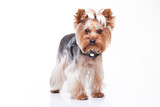 Yorkshire terrier looking at the camera on white background
