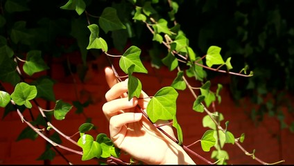 Woman's hands touching many leafs of ivy cover a wall