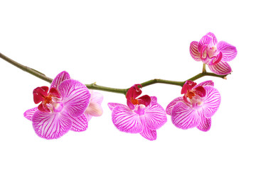 pink orchid phalaenopsis isolated on white