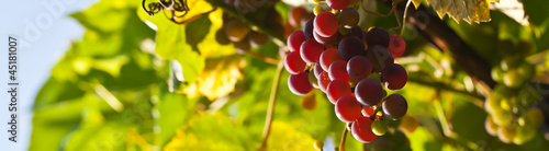 Red grapes on a background of green leaves.