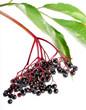 Elderberry, Sambuscus Nigra. Herbal remedy.