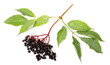 Sambucus nigra - Elderberry. Herbal remedy.