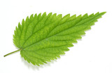 Stinging nettle leaf (Urtica dioica). Herbal remedy. poster