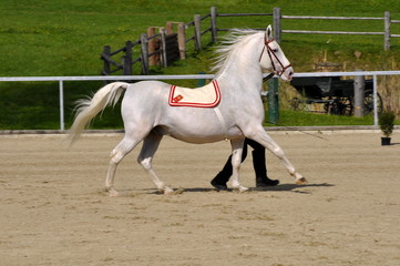 Lipizzaner Temperament