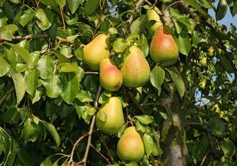 Birnen am Baum - Pears