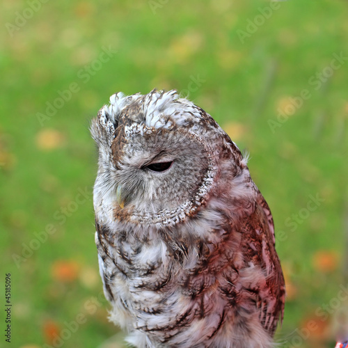 sitting owl on green background