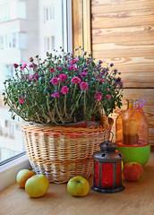 Pink chrysanthemum decoration of the balcony