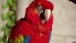 red parrot close-up