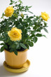 Yellow Rose in a  Pot