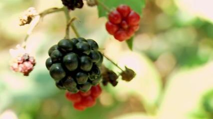 Ripe berry wild Blackberry