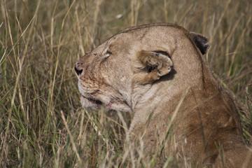 African Lion in Kenya