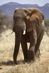 African elrphant