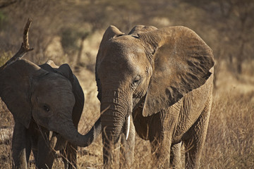 African elephant in Kenia