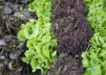 various fresh lettuce