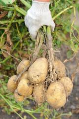 Рука фермера с клубнями картофеля
