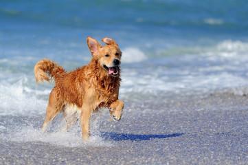 Young golden retriever running on the beach