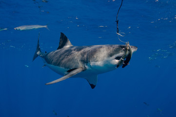 Great White Shark about to eat the bait