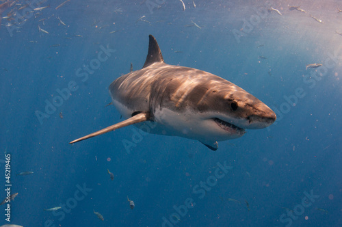 Great white shark off Guedelupe Island, Mexico